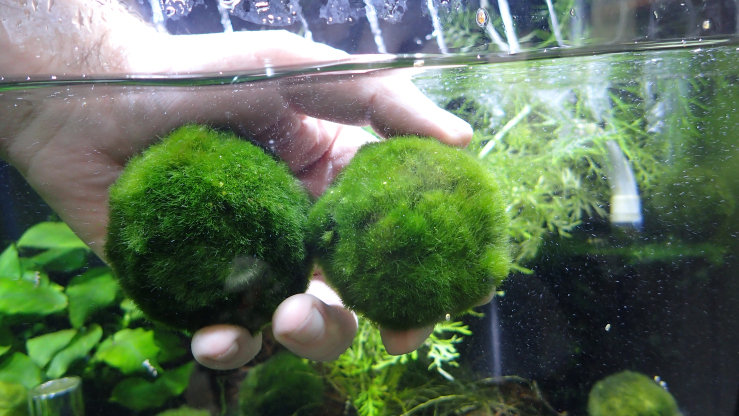 Marimo Moss Ball Extra Large  5cm+