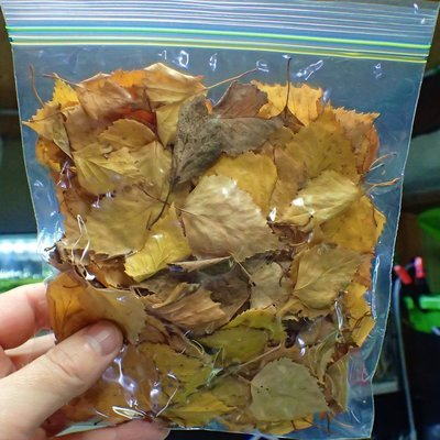 Beach Leaves 10g collected 2018
