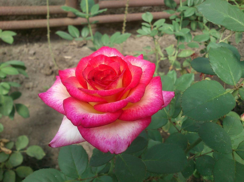 "Роза чайно-гибридная ""Амазонка""(Amazon)"