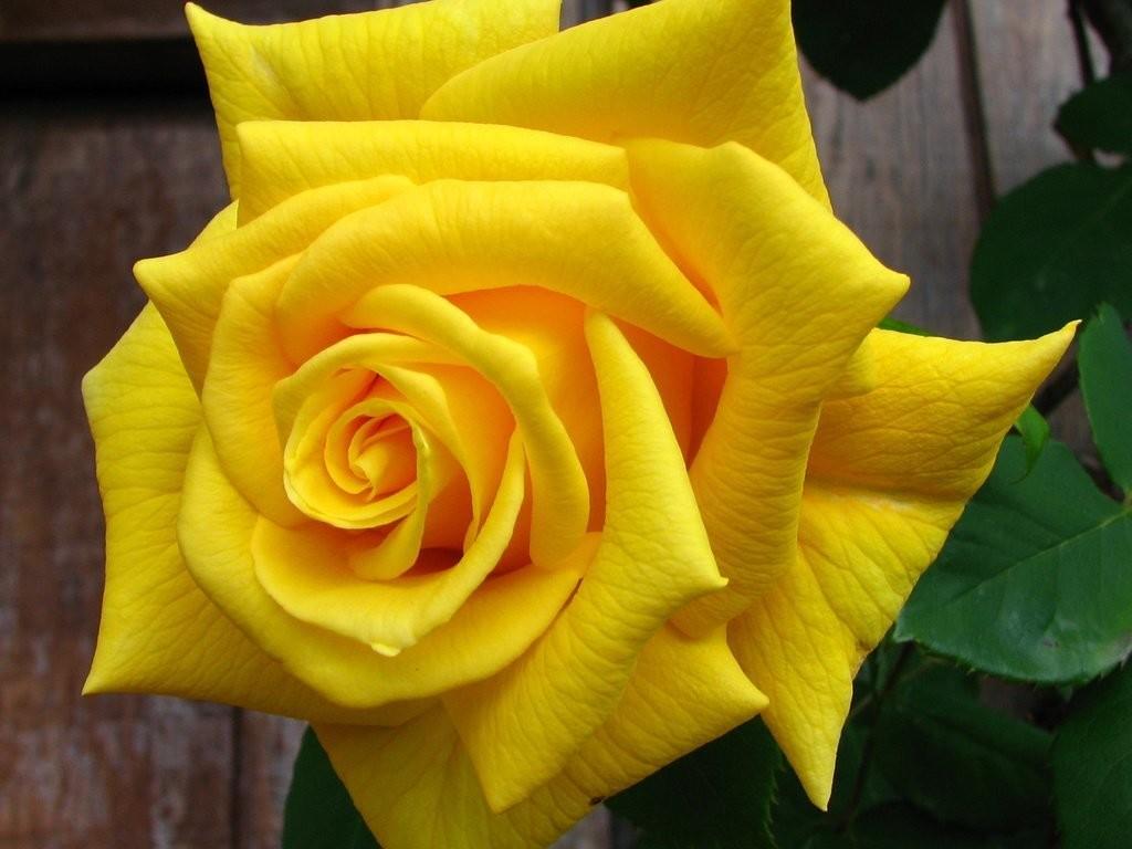 """Роза чайно-гибридная """" Голден Моника"""" (Golden Monica)"""