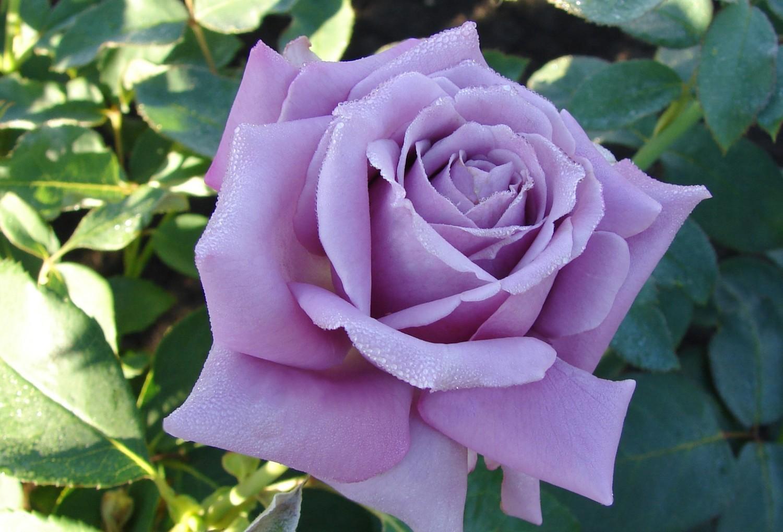 """Роза чайно-гибридная """"Гуль Вальтер"""" (Goul Valter)"""
