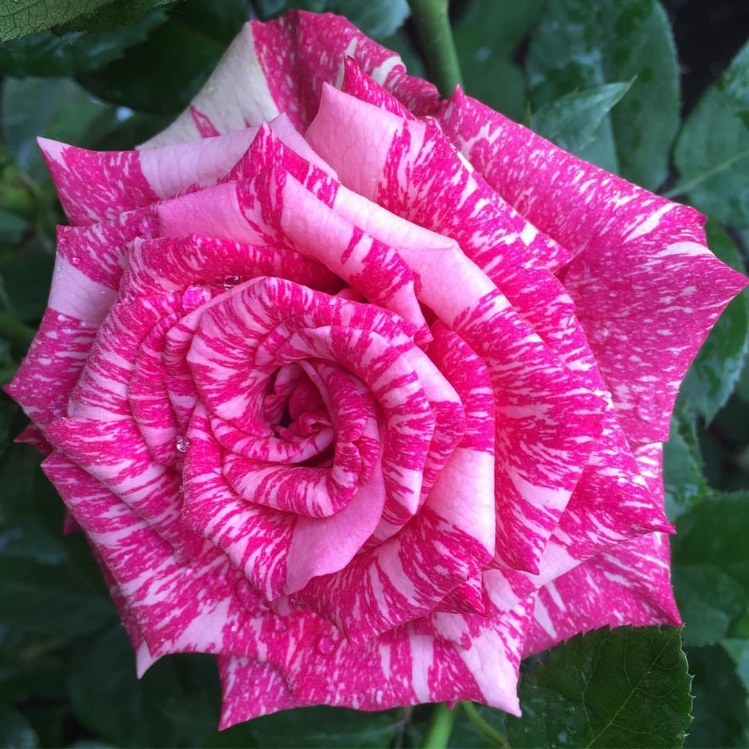 "Роза чайно-гибридная ""Пинк Интуишн"" (Pink Intuition)"