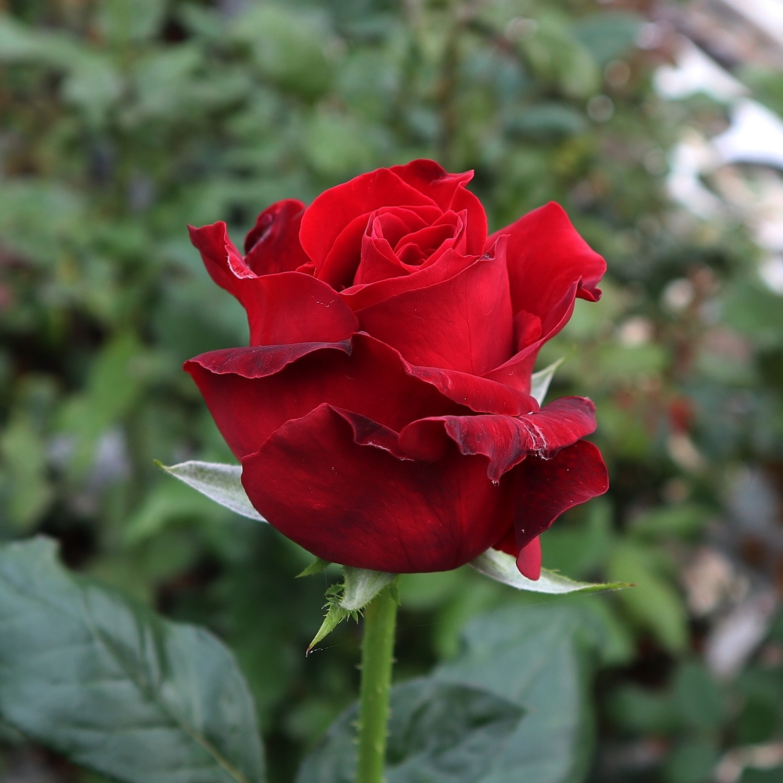 "Роза чайно-гибридная ""Ред Берлин"" (Red Berlin)"