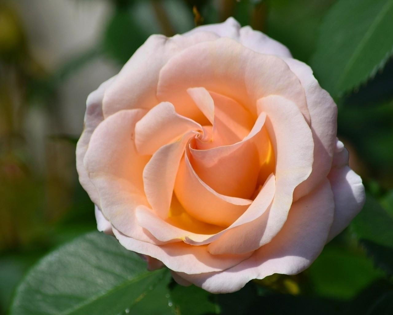 "Роза чайно-гибридная ""Клер Океан"" (Clear Ocean)"