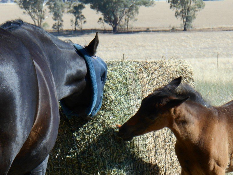 Mare and foal enjoying their large export bale inside a GutzBusta Slow Feed Hay Net