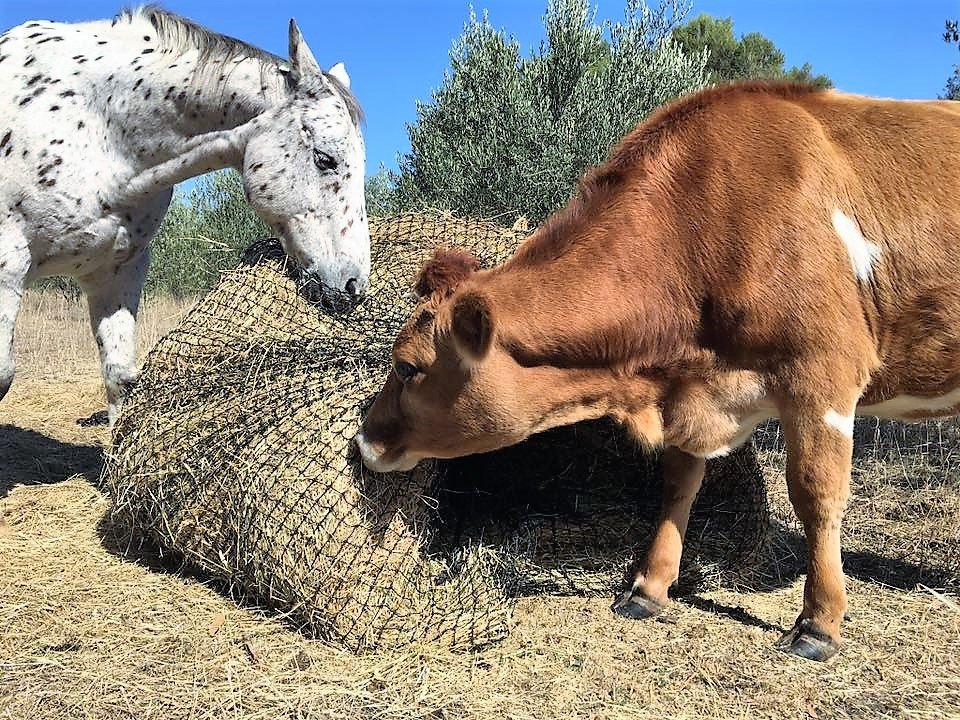 Horse and Cow eating from a 4cm GutzBusta Slow Feed Hay Net - 48ply