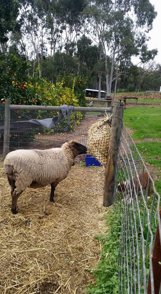Sheep eating from a 4cm GutzBusta Hay Net