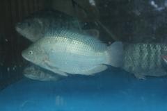 【Welfresh Seafood】LIVE TILAPIA 游水吴郭鱼 1EA~2.5lbs (按1号处理后:去鳞去肚)(每天上午9点截单)