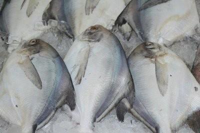 【Welfresh Seafood】FRESH WHITE POMFRET 新鲜白鲳鱼, ~1 lb(每天上午9点截单)