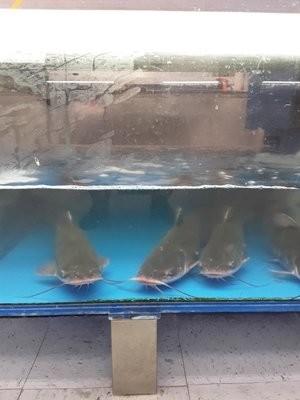 【Welfresh Seafood】LIVE CATFISH 游水鲶鱼 1EA (按4号处理后:去鳞去肚切块)(每天上午9点截单)