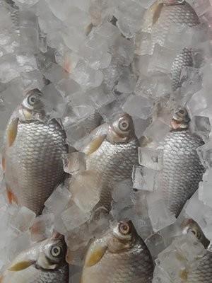 【Welfresh Seafood】RIVER BARB FISH 红鲫鱼 ~2lb(每天上午9点截单)