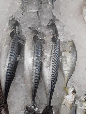 【Welfresh Seafood】NORWAY MACKEREL 挪威鲭鱼 ~2lb(每天上午9点截单)