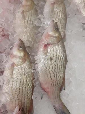 【Welfresh Seafood】FRESH STRIPED BASS 新鲜鲈鱼 ~2.5 Lb(每天上午9点截单)