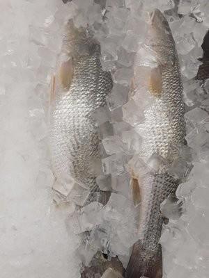 【Welfresh Seafood】RED FISH 新鲜红鱼 ~2lb(每天上午9点截单)