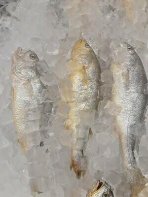 【Welfresh Seafood】YELLOW CROAKER 新鲜中国黄花鱼 ~2lb(每天上午9点截单)