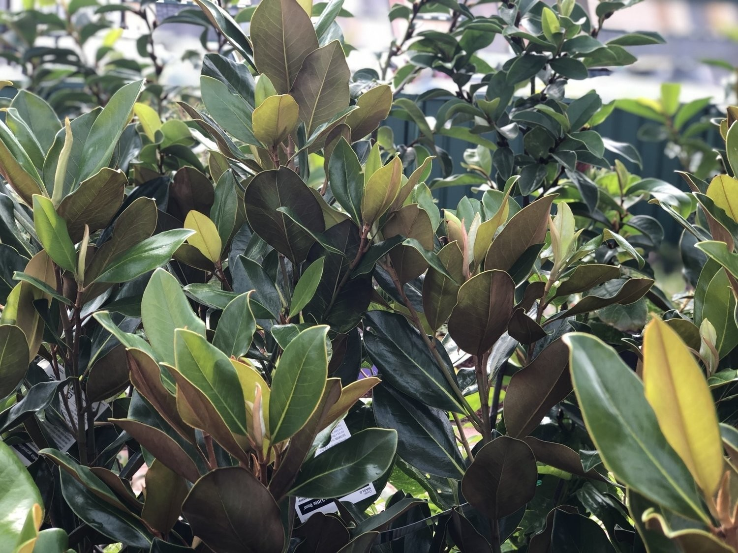 Magnolia Little Gem 200mm Pot