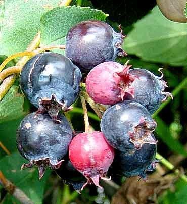 Berry Dakota Juneberry Syrup 8oz 210299154500