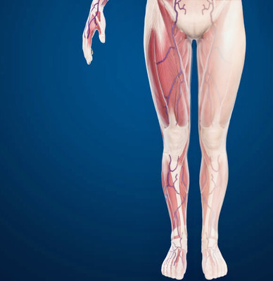 Advanced anatomy of the leg