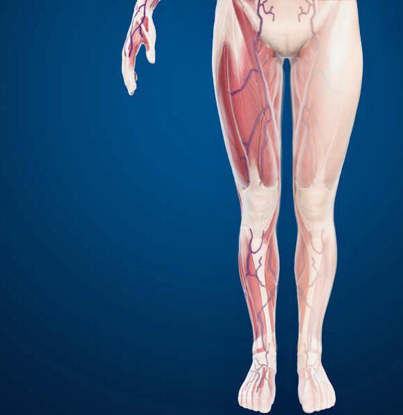Advanced anatomy of the leg