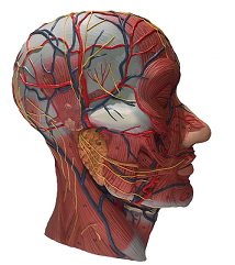 Facial Anatomy: Dissect and Inject - 30th March 2019 - Manchester FACANAT20190330