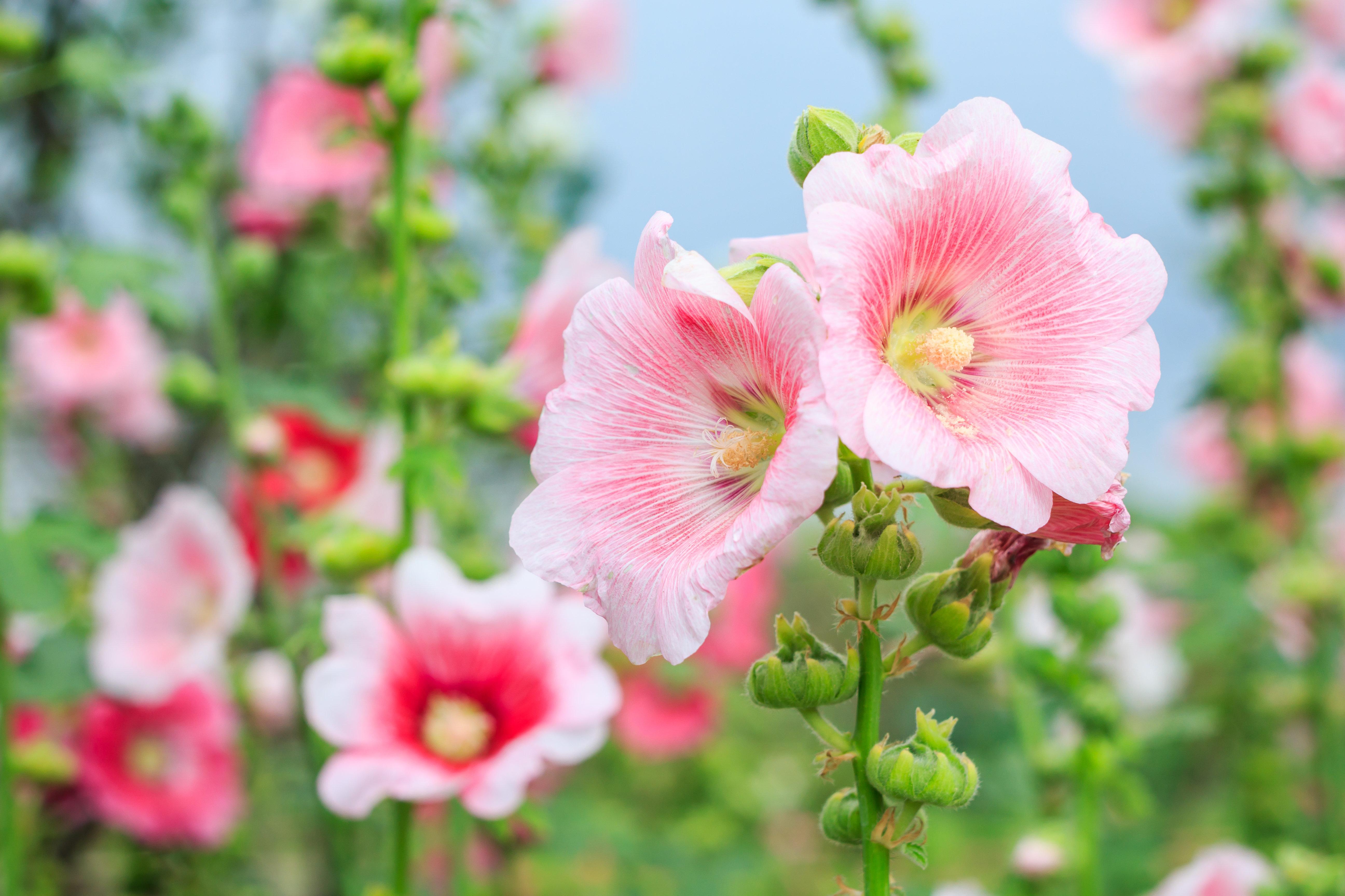Rose of Sharon (Labdanum) Essential Oil - 15ml EO-RoS