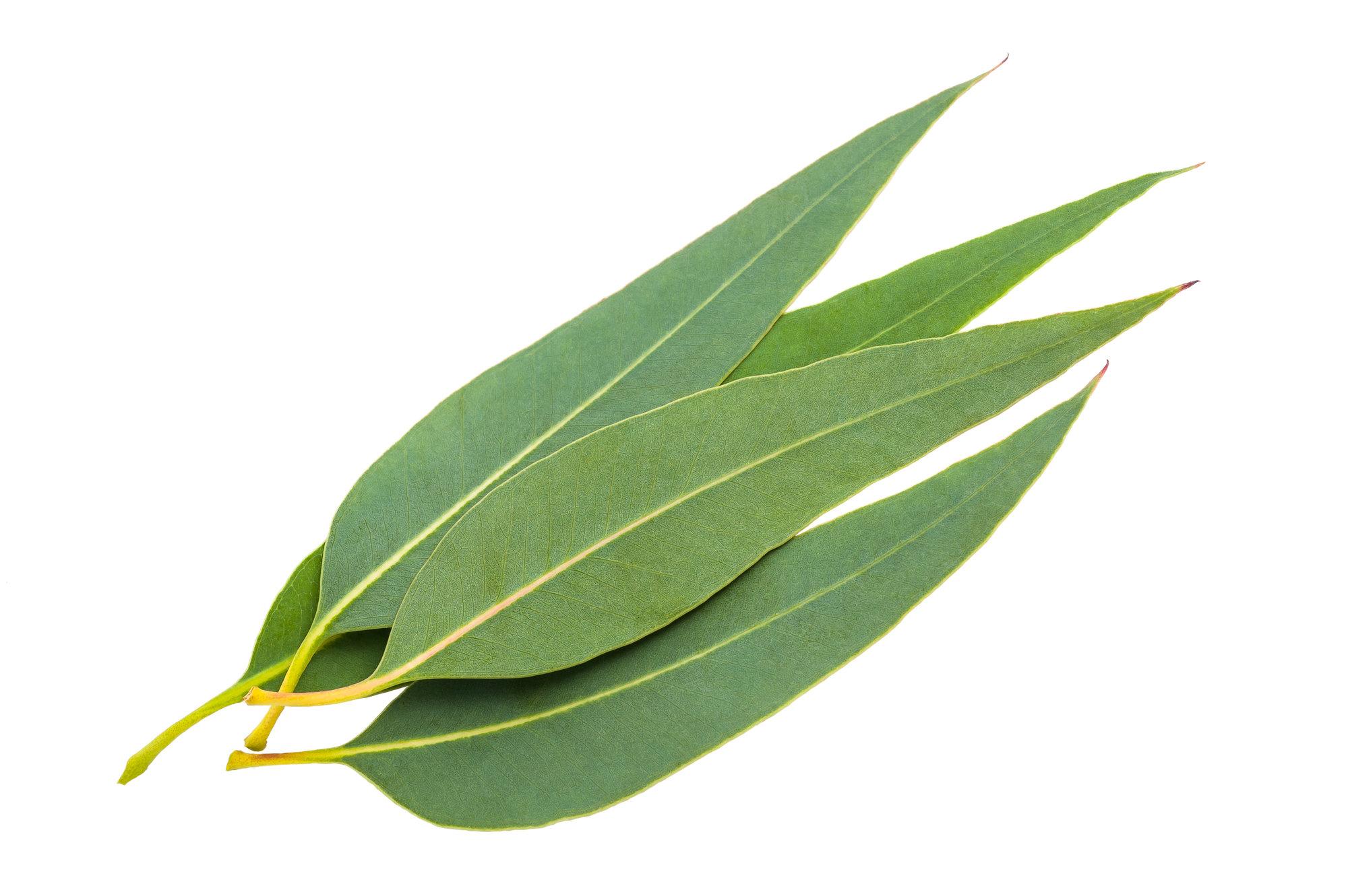 Eucalyptus (Eucalyptus radiata) Essential Oil - 15ml EO-EU15