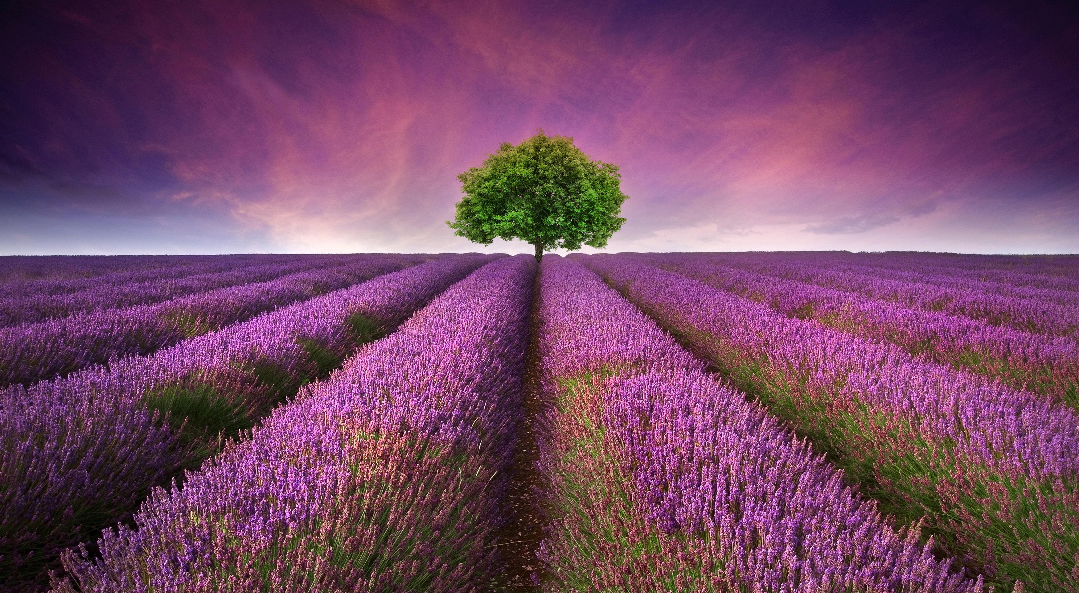 Lavender (Lavandula angustifolia) Essential Oil - 15ml EO-LAV15