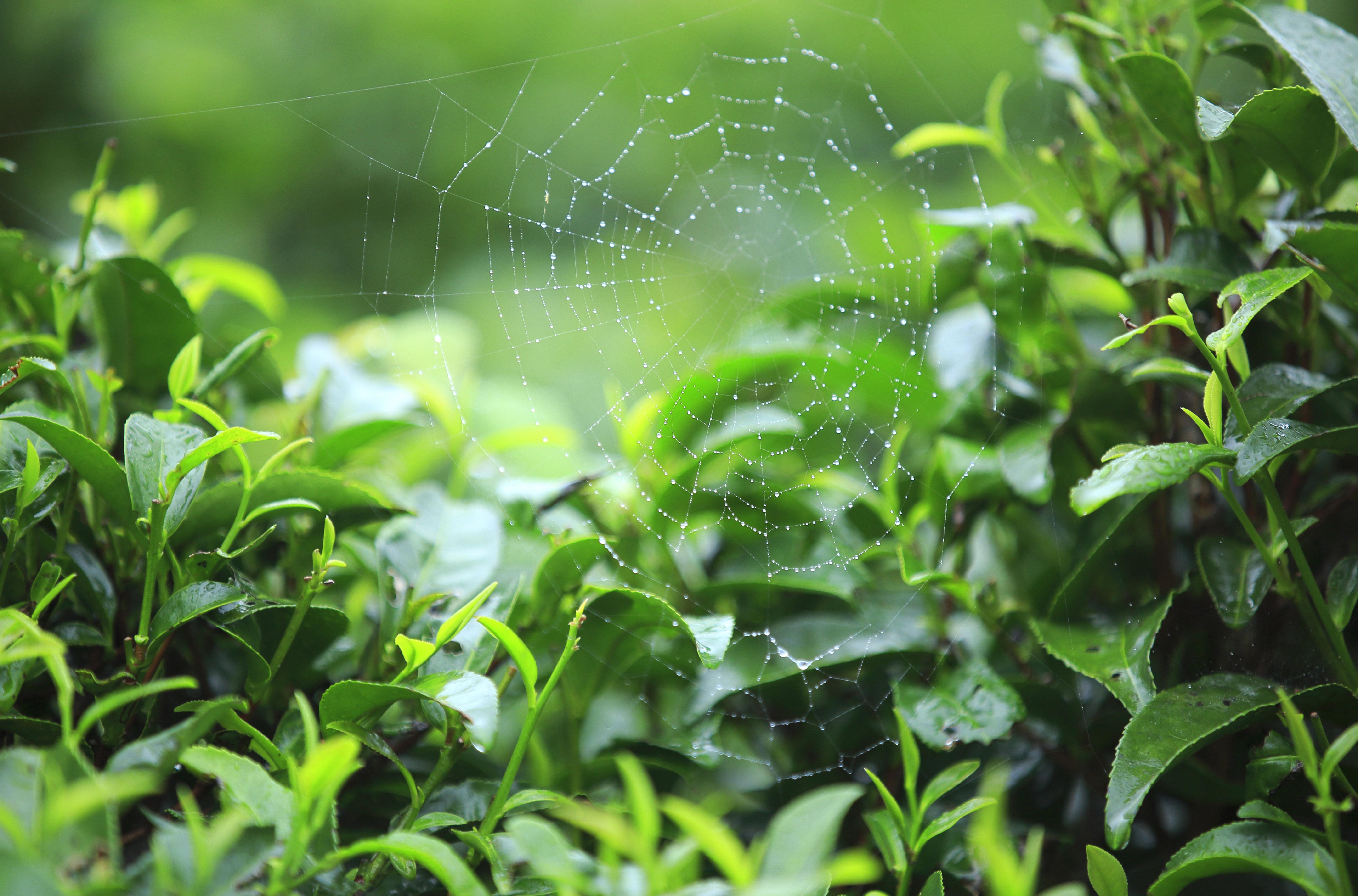 Tea Tree (Melaleuca alternifolia) Essential Oil - 15ml EO-TT15