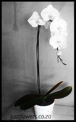 Potted Phalaenopsis