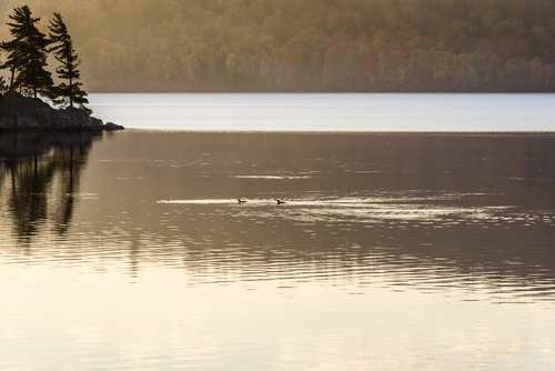 Two Loons On Lake Of Two Rivers, Algonquin Park, Ontario, Canada