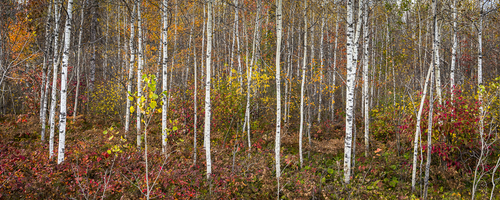 The Birches, Algonquin Park, Ontario, Canada