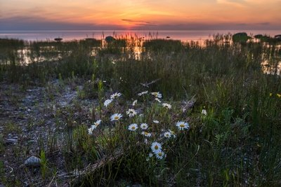 Daisies After Sunset, French Bay, South Sauble Beach, Ontario, Canada