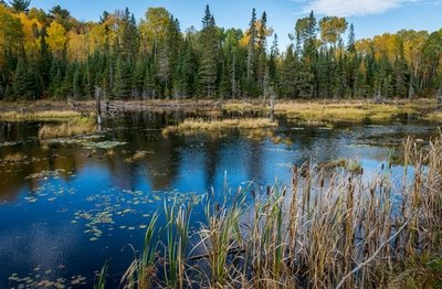 Cattails And Lily Pads, Algonquin Park, Ontario, Canada
