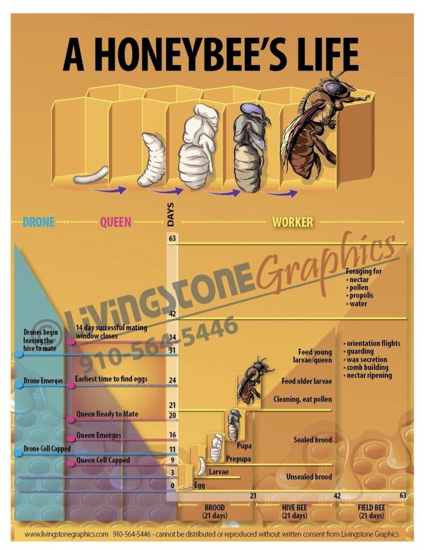 A Honeybee's Life Poster