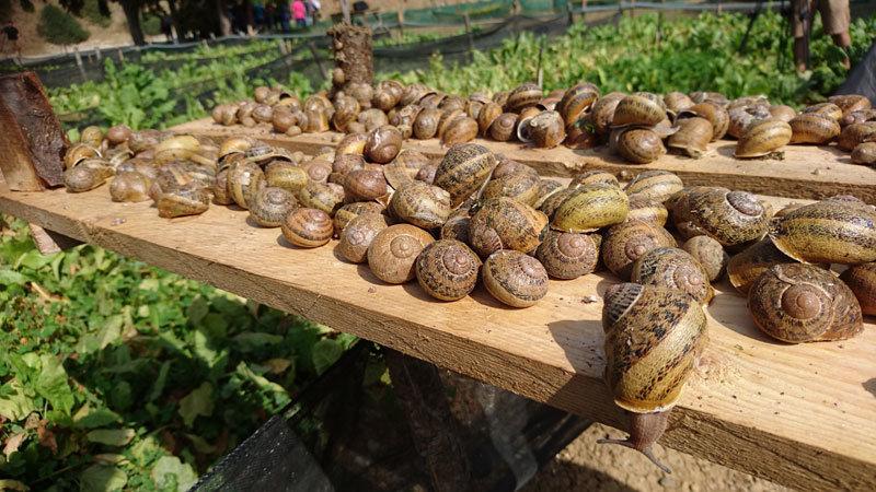 Lumache da riproduzione selezionate (600 Pz)