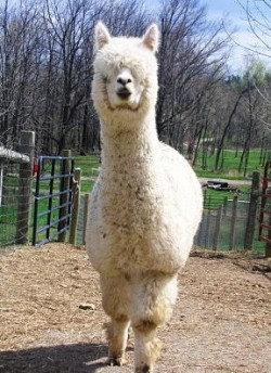 Alpaca Fiber, Natural White, Sunshine 00191