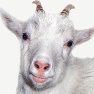 1 Goat (Haiti) #1 Pick