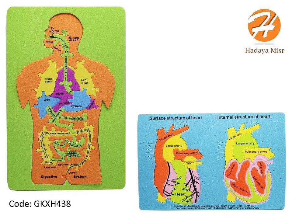 شكل تكوين جسم الانساان من الفوم (إنجليزي) شكل تكوين القلب من الفوم (إنجليزي)