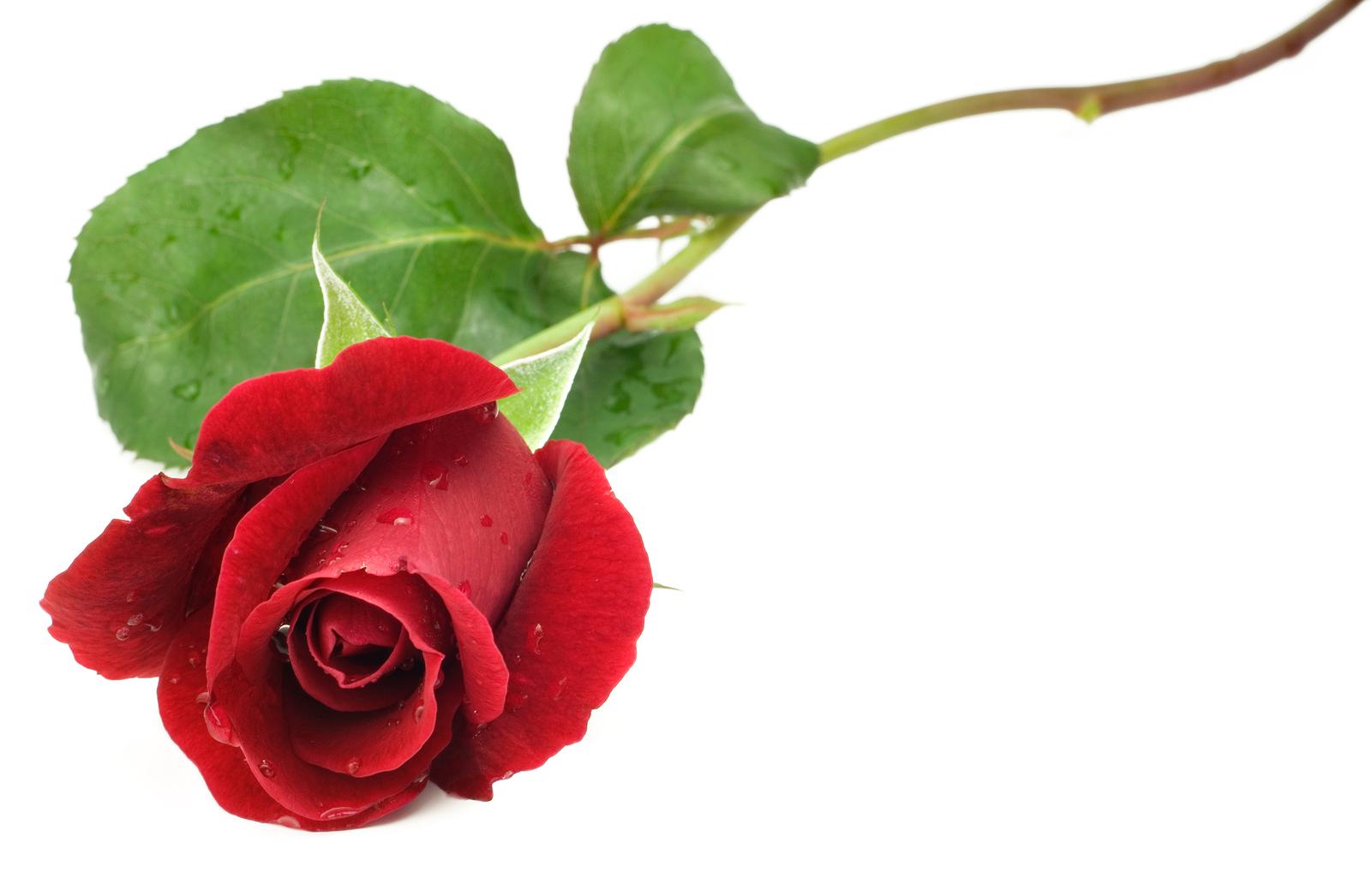 Individual Rose SV19RS