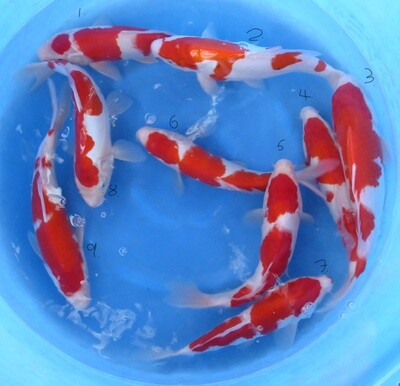 Breeder - Su San. Kohaku & Beni Kumonryu. 30 - 38cm Approx. 1, 2 & 5 Sold Mr PW
