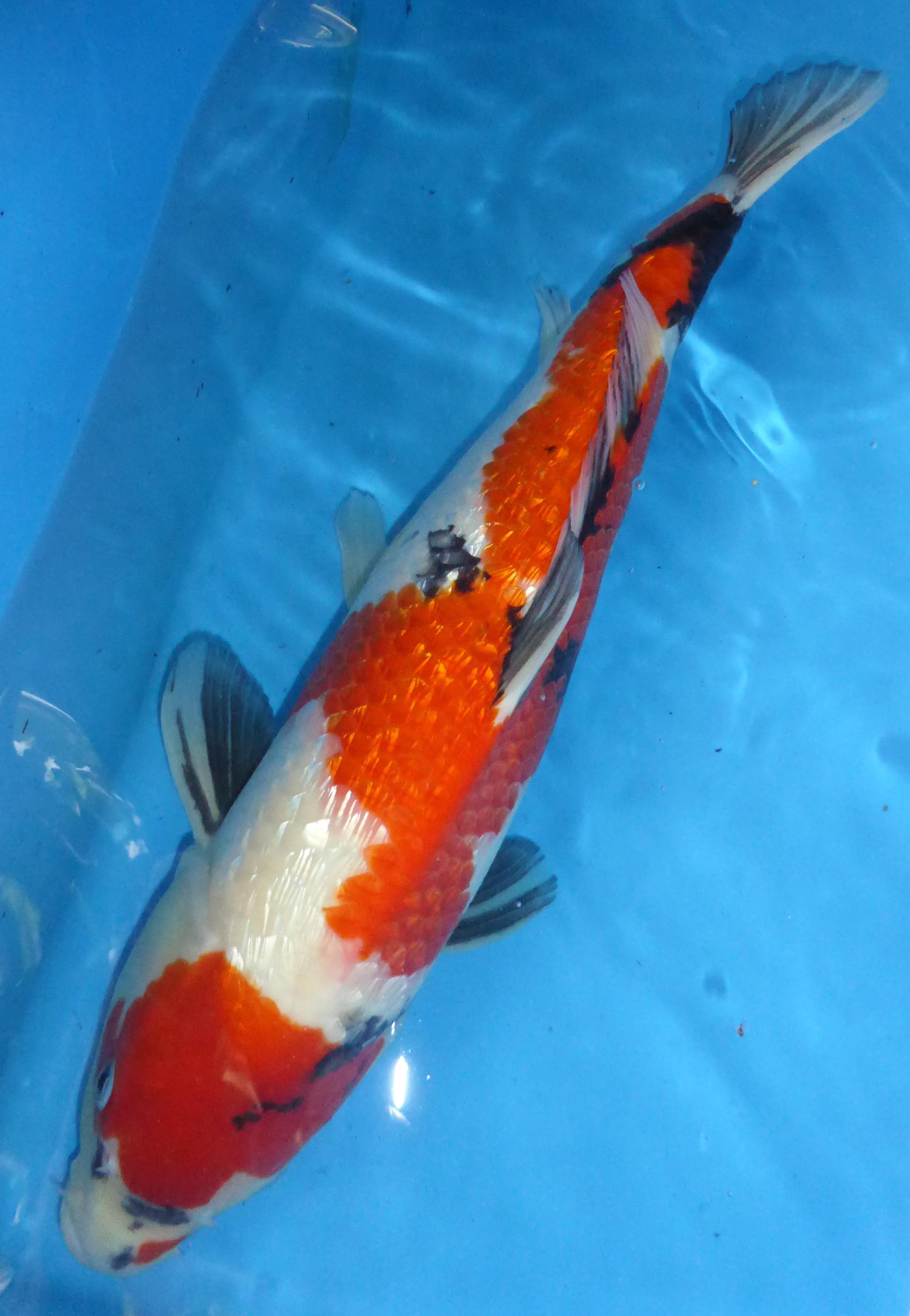 Breeder takahashi gin rin showa 50cm price reduced for Koi fish dealers