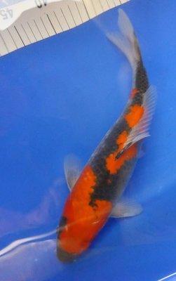 Breeder - Yoshikigoi. Goshiki. 34 - 35cm