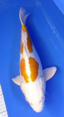 Breeder - Yoshikigoi. Doitsu Harewake. 35 - 37cm .
