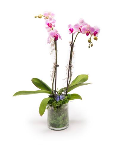 Phaelanopsis Orchid 030A27-6400