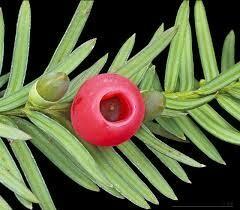 Yew Needles
