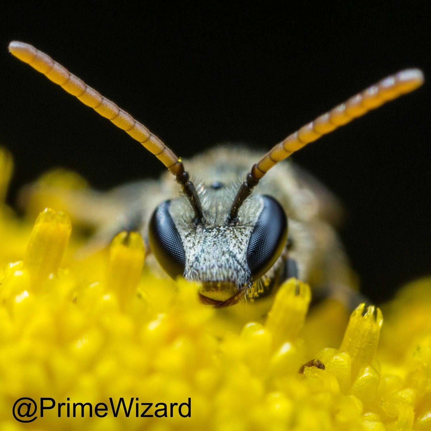 Sweat Bee by Primewizard