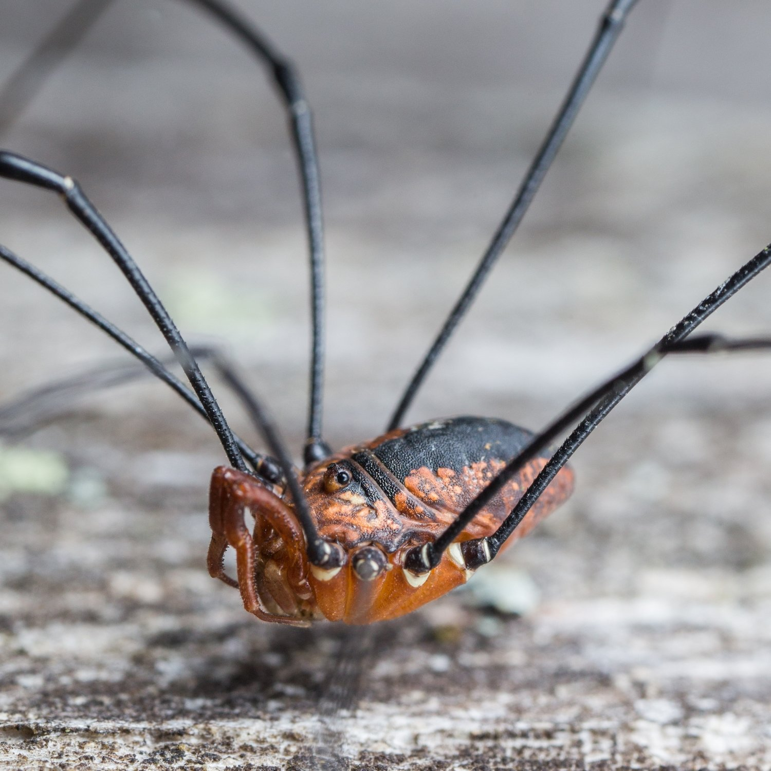 Harvestman Spider by Primewizard