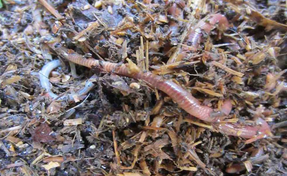 Kompostwürmer kompostwürmer im wohlfühlsubstrat gratis versand