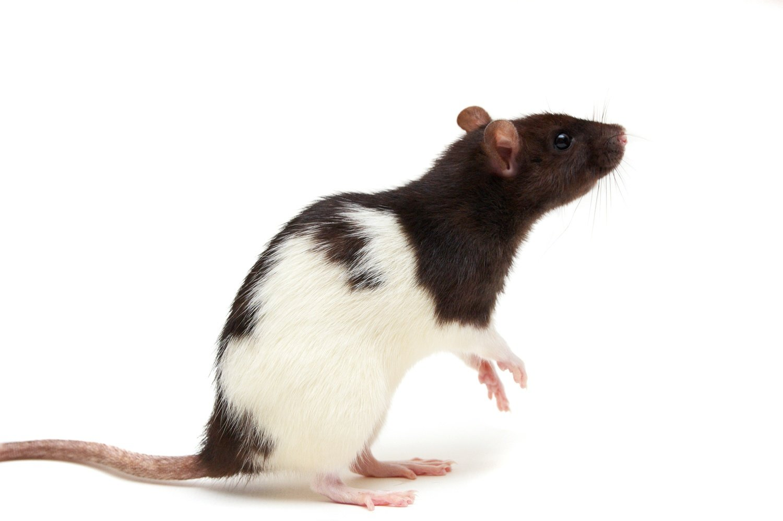 Live Rat