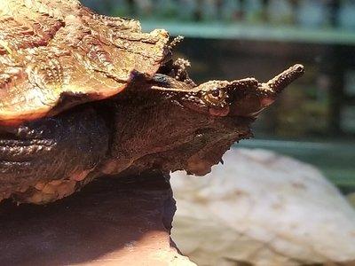 Mata Mata Turtle